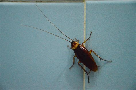 do cockroaches eat bed bugs 5 creepy facts about cockroaches knockout pest control