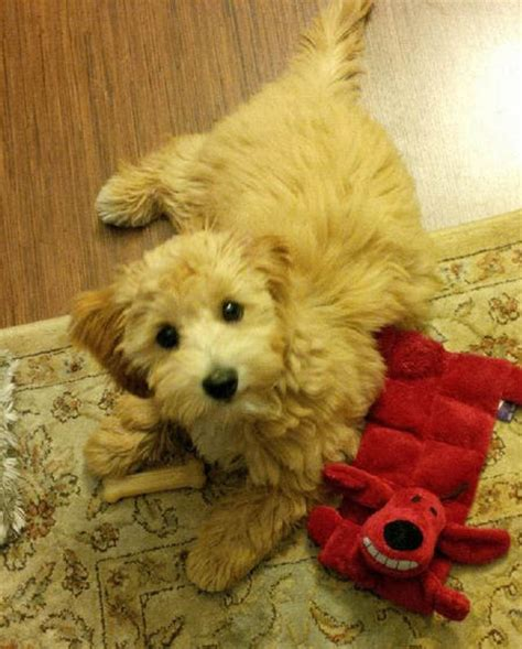 havanese poodle lifespan happy poodle day these nuggets will help you