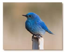 bicoastally the bluebird