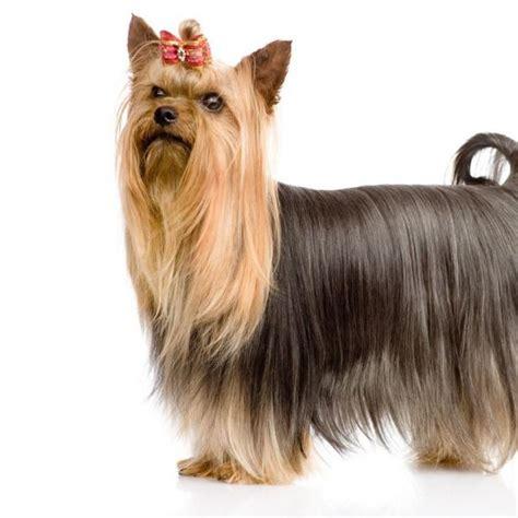 alimentazione boxer adulto terrier perros