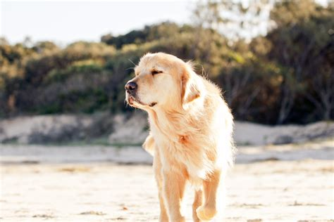 golden retriever photography photo session by reeves photography pretty fluffy