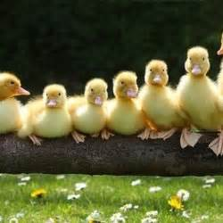 ducks in a row random onehallyu