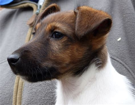 fox terrier puppies for sale fox terrier puppies for sale middlesbrough pets4homes