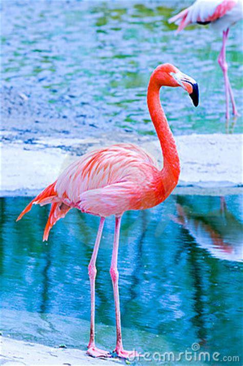 pink flamingo royalty  stock photo image