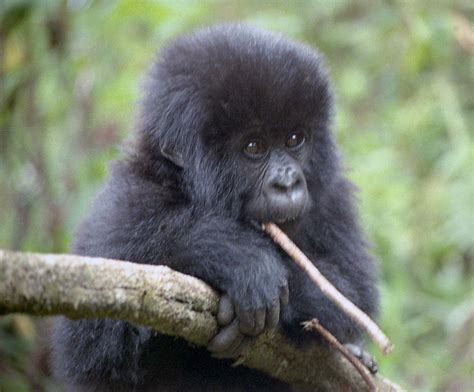 Baby Gorilla by Pat Burns - Digital Photographer
