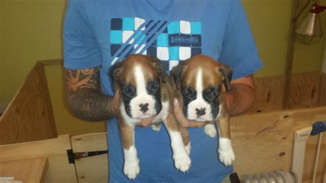 boxer puppies for sale in colorado boxer puppies for sale bodmin cornwall pets4homes