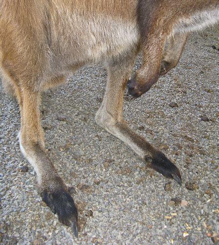 Kangaroos Running Original 02 kangaroo closeup of a kangaroo s and claws