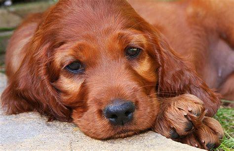 setter dog short hair dog breeds with hair not fur dog breeds