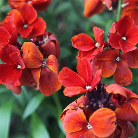 Outdoor Container Garden - buy wallflower erysimum wallflower fire king delivery by crocus