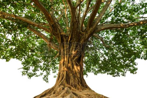 pics for gt bodhi tree