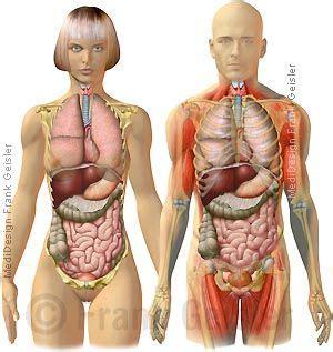 anatomie innere organe anatomie mensch innere organe frau und mann ansicht
