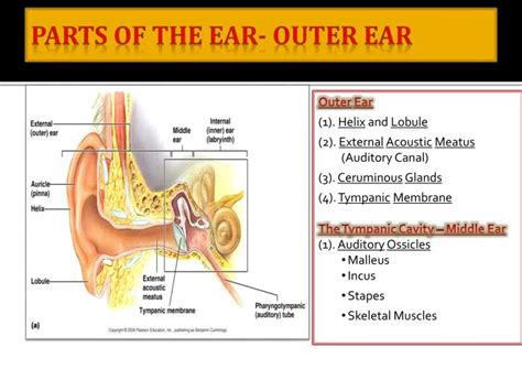 sections of the ear ppt how we hear biology 2121 powerpoint presentation