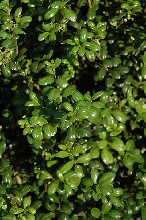 chesapeake japanese holly ilex crenata chesapeake