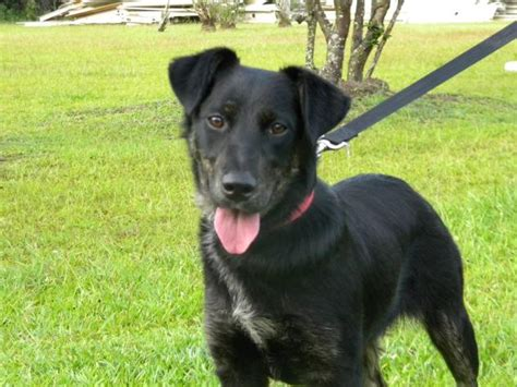 black lab german shepherd mix black labrador retriever german shepherd mix dogs german shepherd mix