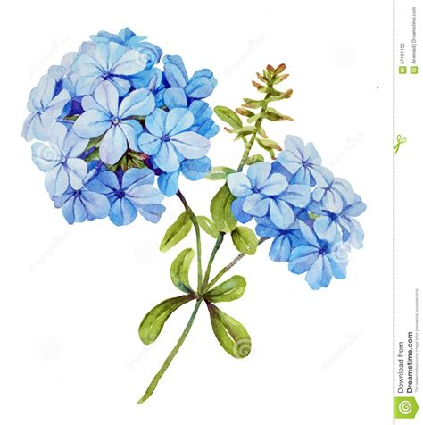 clipart fiore fiore dell acquerello gelsomino illustrazione di