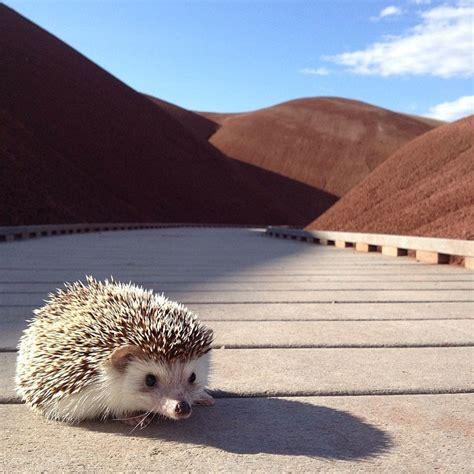 World Traveler 13 biddy the hedgehog world traveler instagram 13