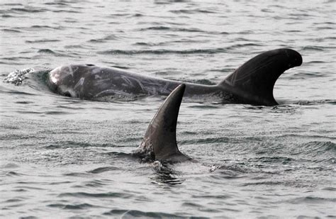 killer whales with sea pup sea foundation 187 killer whale seen seal pup