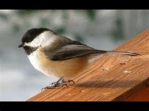 black capped chickadee bird mating call