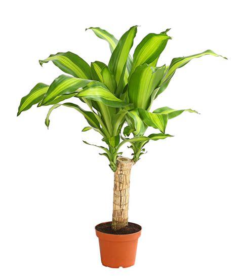 drachenbaum dracaena fragrans drachenbaum massangeana dehner