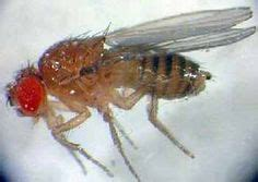 fruit flies in bedroom house how to on pinterest fruit flies basements and car wash