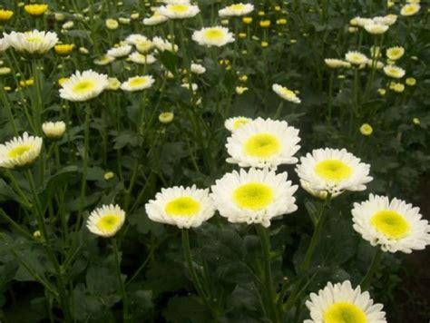 tanaman hias  bunga pengusir nyamuk bibitbun gacom