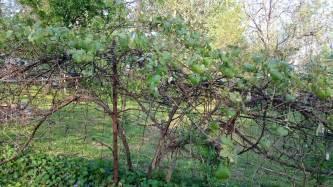 growing seedless grapes stark bro s