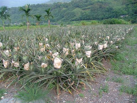 is pineapple bad for dogs pineapple plants and dogs stop from own