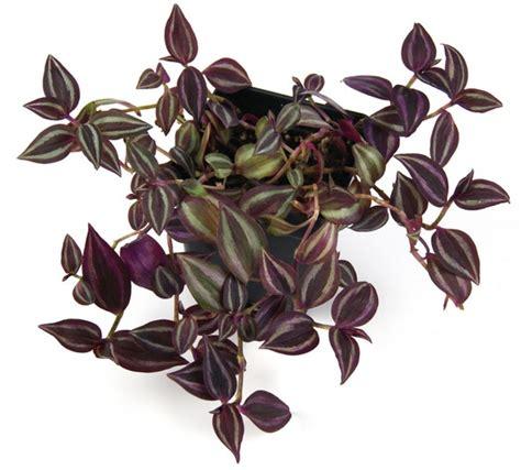 Tanaman Hias Calathea Zebrina tanaman tradescantia bibitbunga