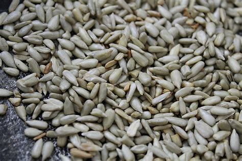 sesame seed www pixshark com images galleries with a bite