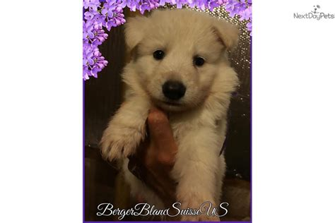 berger blanc suisse puppies for sale berger blanc suisse puppy for sale near tallahassee florida c38cb17f a641