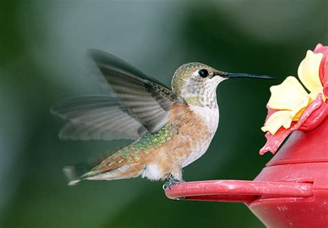 rufous hummingbird santa fe new mexico a photo on