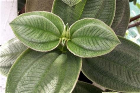 Planter Des Fougères by Tibouchine 195 Grandes Feuilles Tibouchine Fleur Araign 195 169 E