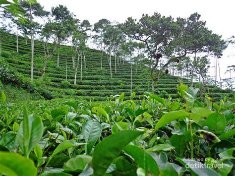 Teh Hijau Mutiara kebun teh tritis alternatif wisata di yogyakarta