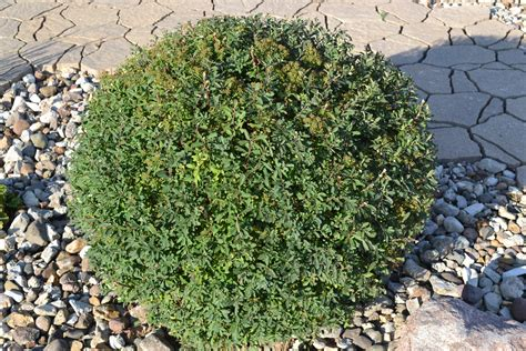 snowmound spirea is a late spring to early summer