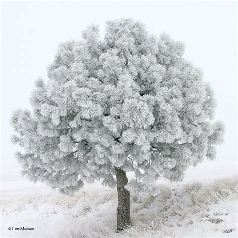 Frosty Tree - frosty pine tree photo tom munson photos at pbase