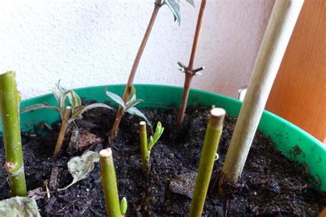 wann pflanze ich was erste kleine triebe schmetterlingsflieder w 252 chsige