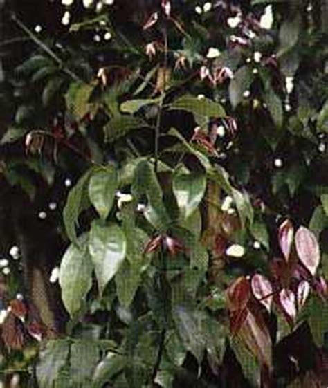 Murah Kayu Manis Batang khasiat obat dan manfaat dari kayu manis organisasi asgar
