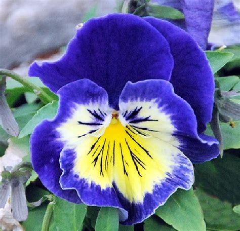 imagenes de flores llamadas pensamientos fotos de flores las flores del pensamiento