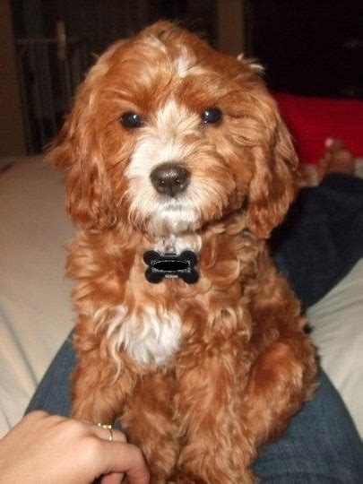 cavapoo dogs cavapoo cavalier king charles spaniel mix info temperament pictures