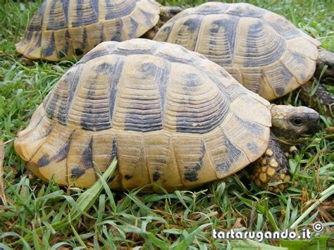 alimentazione testudo hermanni tartarugando testudo hermanni caresheet