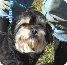 shih tzu rescue md norfolk va shih tzu poodle mix meet tage a for adoption dreaming of