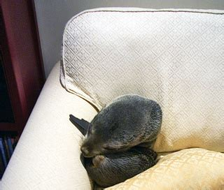 seal on couch baby seal breaks into house curls up on sofa aww
