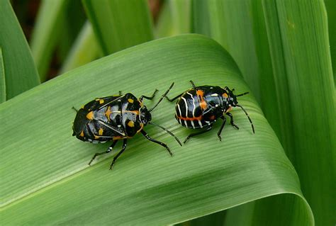 what is bed bugs harlequin cabbage bug wikipedia