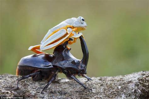 coleottero volante rana volante in sella al coleottero dago fotogallery