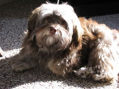 havanese color change chocolate color changes havanese forum havanese forums havanese if you