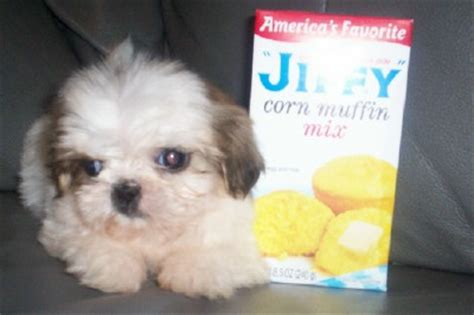 shih tzu puppies for sale ohio maltese teacup growth chart breeds picture