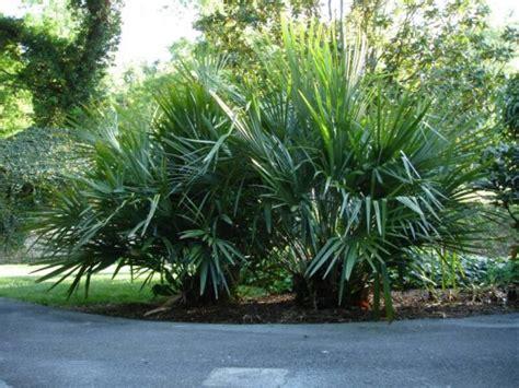 palm grows   england pith vigor