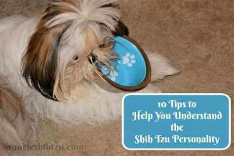 shih tzu temperament spunky the shih tzu personality 10 traits you should