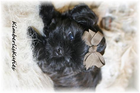 shih tzu for sale craigslist teacup yorkie puppies for sale in pomsky picture to breeds picture