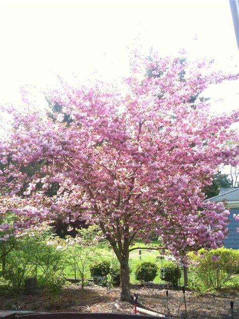 cherry tree cherries and fails on pinterest
